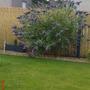 My fave buddlea (Buddleja davidii (Butterfly bush))