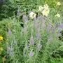 Veronca spicata (Veronica spicata)