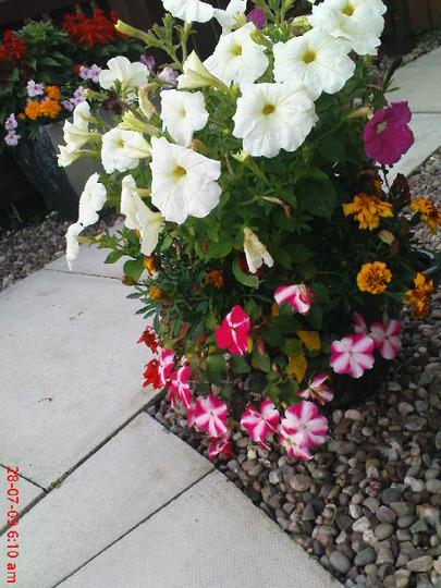 A garden flower photo (Impatiens)