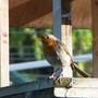 Male Robin on Bird Table
