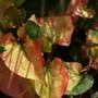 Cameleon Plant (Houttuynia cordata)