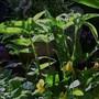 sauromatum venosum, voodoo lily (sauromatum venusum)