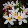 Plumeria rubra 'Pastel Pink' - Pastel Pink Plumeria (Plumeria rubra 'Pastel Pink' - Pastel Pink Plumeria)