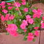 Catharanthus roseus - Madagascar Periwinkle (Catharanthus roseus - Madagascar Periwinkle)