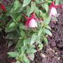 Fuschia Pink Spangles (Fuchsia  (Fuchsia))