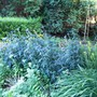 globe Thistle (Echinops bannaticus (Globe thistle))