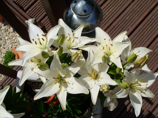 Looking down on the Asiatic Lillies...