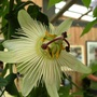 White Passion Flower (Passiflora caerulea (Passion flower))