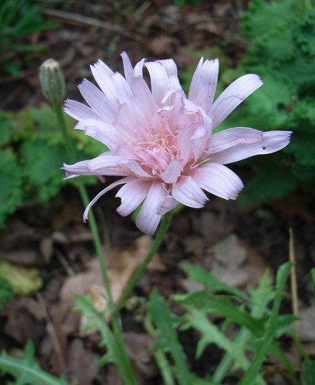 Crepis incana - 2009 (Crepis incana)