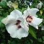 Hibiscus_syriacus_red_heart_2009