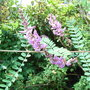 Indigofera heterantha - 2009 (Indigofera heterantha)