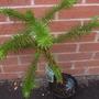 Araucaria araucana (Monkey Puzzle, Chilean pine)