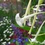 Flowers at Hampton Court Gardens