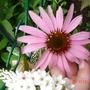 July_29_corn_flower_i_think