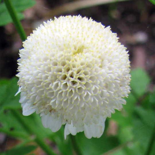 Feverfew flower grows on you feverfew flower chrysanthemum parthenium white pompom mightylinksfo