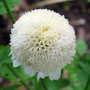 Feverfew flower (Chrysanthemum  parthenium 'White pompom')