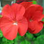 Red Geranium