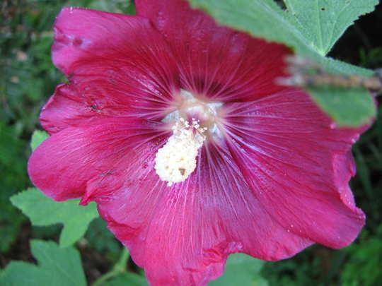 Dark pink hollyhock (Alcea rosea (Black Hollyhock))