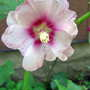 Pink & White Hollyhock (Alcea rosea (Black Hollyhock))