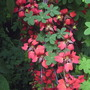 Tropaeolum speciosum (Tropaeolum speciosum (Flame flower))