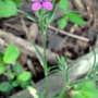 Deptford pink - wildflower (Dianthus armeria (Buschel-Nelke))