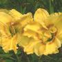 Unknown Daylily (Hemerocallis)