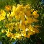 Cassia leptophylla  - Gold Medallion Tree Flowers (Cassia leptophylla  - Gold Medallion Tree)
