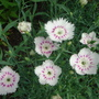 Pretty Pinks (Dianthus)