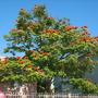 Spathodea campanulata - African Tulip Tree in San Diego, CA (Spathodea campanulata - African Tulip Tree)