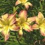 Unknown Daylily Mauve & Yellow (Hemerocallis)