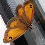 Female Gatekeeper Butterfly