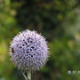 hover fly on echinops