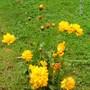 coreopsis grandiflora (Coreopsis grandiflora (Coreopsis Sunray))
