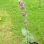 Salvia_purple_rain