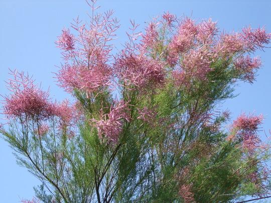 Tamarisk against the sky.
