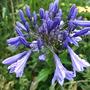Agapanthus 'Navy Blue' (Agapanthus)