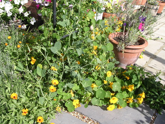 Nasturtiums taking over.