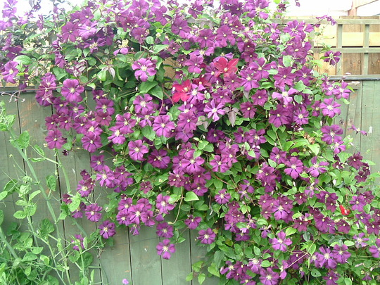 Etoile violette  (clematis)