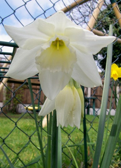 creamy daff (Narcissus 'Ice Wings')