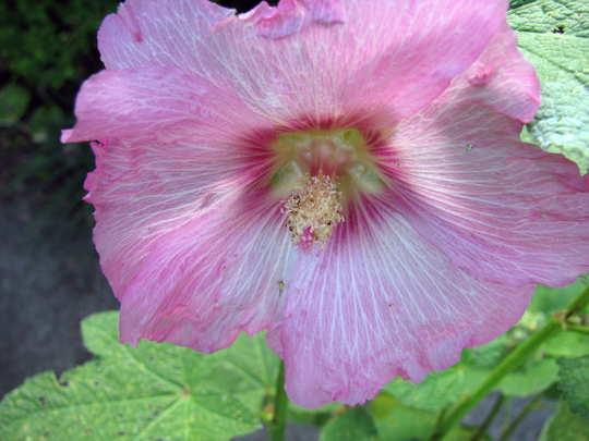 Pink Hollyhock (Alcea rosea (Black Hollyhock))