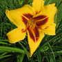 Daylily 'Bonanza' (Hemerocallis 'Bonanza')