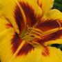 Daylily 'Bonanza' closer (Hemerocallis 'Bonanza')