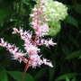 Pink astilbe flower (Astilbe chinensis (Astilbe))