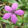 Deptford pink (Dianthus armeria (Buschel-Nelke))