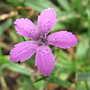 Deptford pink (Dianthus armeria (Buschel-Nelke))