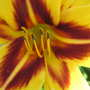 Daylily bloom (Hemerocallis 'Bonanza')