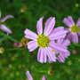 Coreopsis, pink (Coreopsis rosea 'American Dream')