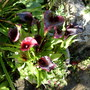Zantedeschia 'Black Prince' (Zantedeschia NZH)