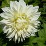 White Dahlia (Dahlia Pinnata (Dahlia))
