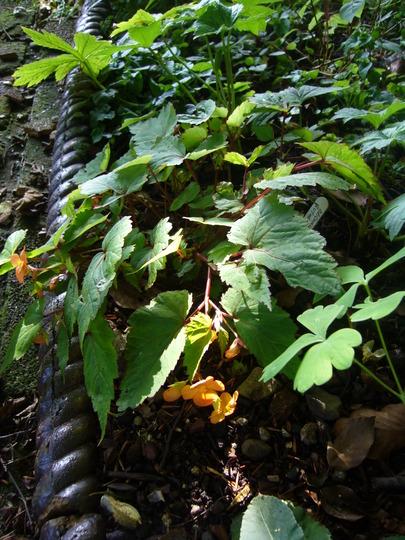 Begonia sutherlandii (Begonia sutherlandii)